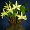 Dendrobium trigonopus (orchidea)