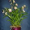 Epidendrum (orchidea)