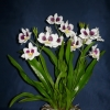 Miltonia (orchidea)
