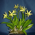 Bc Roman Holyday orchidea