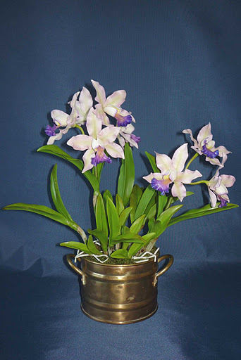 Cattleya orchidea