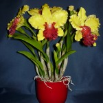 Cattleya Alma Kee orchidea