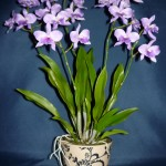 Cattleytonia orchidea