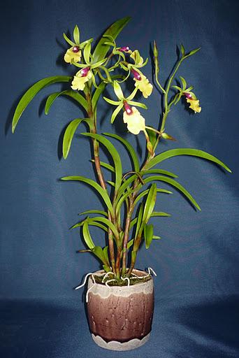 Epicattleya Rene Marques orchidea