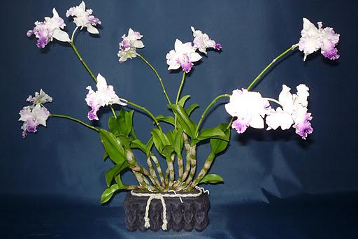 Egy különleges Dendrobium orchidea