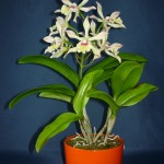 Cattleya orchidea hibrid