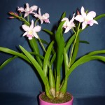 Cookara orchidea