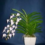 Aerides Lawrencia orchidea