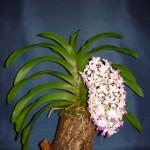 Rhynchostylis Giganthea orchidea