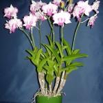 Dendrobium Anucha Flare orchidea
