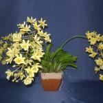 Dendrobium Aggregatum orchidea