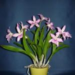 Maikai orchidea