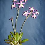 Laelia orchidea