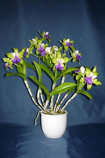Cattleya hibrid