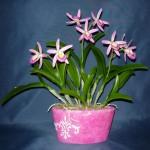 Cattleya hibrid orchidea