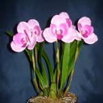 Lycaste orchidea