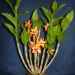Dendrobium Mohlianum orchidea