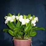 Cattleychea Siam Jade orchidea