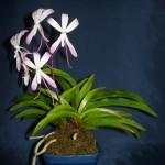 Neofinetia orchidea