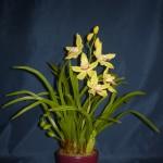 Cymbidium orchidea