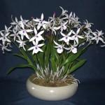Bl Petite Stas orchidea