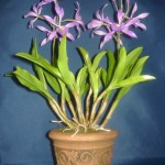 Brassolaelia orchidea