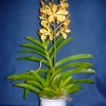 Mokara orchidea