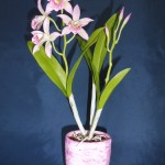 Maikai mayumi orchidea