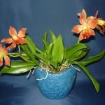 Laeliocattleya orchidea