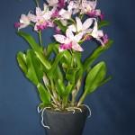 Cattleya Amethystoglossa orchidea