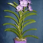 Vanda coerulea orchidea