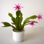 Húsvéti kaktusz