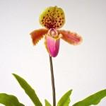 Papucsorchidea
