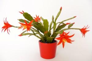 Húsvéti kaktusz 20cm, 15200Ft