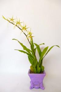 Pókorchidea 47cm, 17200Ft