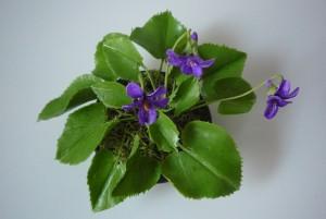 Illatos ibolya - Viola odorata