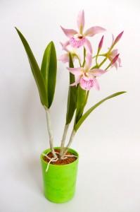 Bc. Maikai 'Mayumi' orchidea