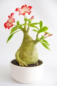 Sivatagi rózsa - Adenium